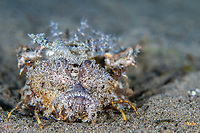 A venomous spiny devilfish, Inimicus didactylus, blends into the sand in Dauin, Philippines, Pacific Ocean