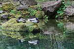 Mallards nap on rock in the Strolling Pond.  The Japanese Garden in Portland is a 5.5 acre respit.  Said to be one of the most authentic Japanese Garden's outside of Japan, the rolling terrain and water features symbolize both peace and strength. Public, city facility