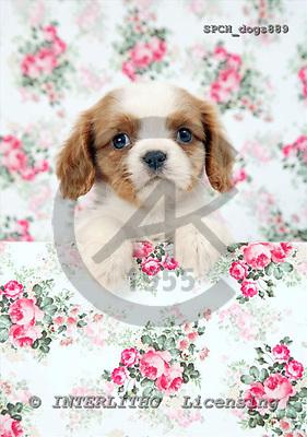 Xavier, ANIMALS, dogs, photos+++++,SPCHDOGS889,#a# Hunde, perros