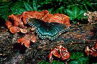 Red spotted purple butterfly, Basilarchia arthemis astanax, on moist lichen log, Missouri
