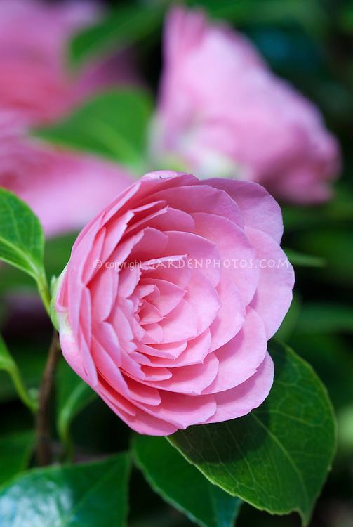 Camellia japonica 'Elizabeth Weaver' pink formal double