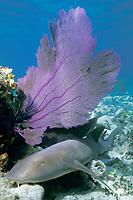 nurse shark, Ginglymostoma cirratum, resting under sea fan, Bahamas, Caribbean Sea, Atlantic Ocean