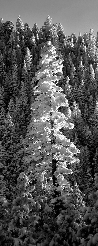Tall snow covered tree at sunset. Freemont National forest, Oregon