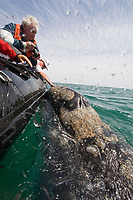 California Gray whale (Eschrichtius robustus) in San Ignacio Lagoon on the Pacific Ocean side of the Baja Peninsula, Baja California Sur, Mexico. Each winter thousands of California gray whales migrate from the Bering and Chukchi seas to breed and calf in the warm water lagoons of Baja California. San Ignacio lagoon is the smallest of the three major such lagoons. Current (2008) population estimates put the California Gray whale at between 20,000 and 24,000 animals.