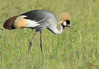 Gray-crowned Crane foraging, Masai Mara