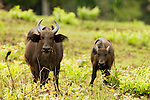 Forest Buffalo (Syncerus caffer nanus) mother with Yellow-billed Oxpecker (Buphagus africanus) and calf, Lope National Park, Gabon