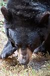 American black bear facing camera close-up face, vertical.