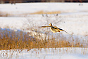 00890-038.12 Ring-necked Pheasant hen is in flight across snow covered field toward grassy lowland duirng winter.  Cover, cold, survive.