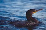 Brandt's Cormorant, Phalacrocorax penicillatus, Olympic Coast National Marine Sanctuary, Olympic Peninsula, Washington State, Pacific Northwest, Pacific Ocean, Northwest coast, Olympic Peninsula, North America, USA,.