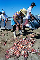 brown smoothhound shark pups, Mustelus henlei, being cleaned on beach, Mexico, Sea of Cortez, Pacific Ocean