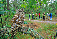 Barred Owl, being photographed under controlled conditions. Woodford Cedar Run Wildlife Refuge, Medford, New Jersey