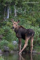 0622-1001  Eastern Moose Calf, Alces alces americana  © David Kuhn/Dwight Kuhn Photography