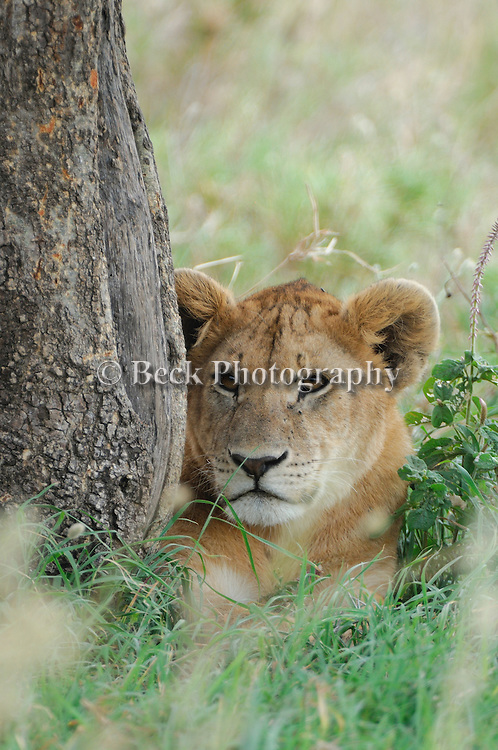 A female lion rests underneath a tree in Africa