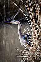 A Great Blue Heron partially obscured by reeds in a diversion channel at New Mexico's Bosque del Apache National Wildlife Refuge.