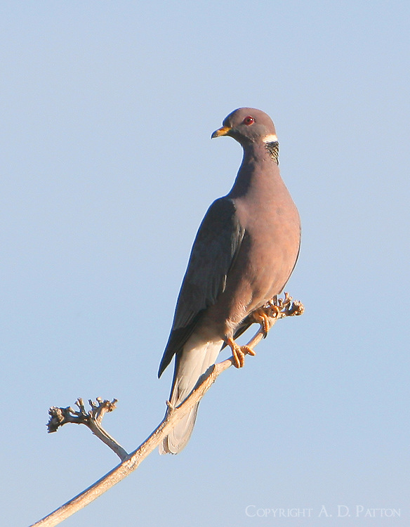 Adult band-tailed pigeon
