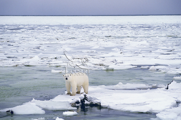 Polar bear (Ursus maritimus), Canada  Note:  This illustrates the issue of global warming--the ice has been forming later and breaking up sooner in recent years in the arctic.  Since the bears do most of their hunting on the ice pack for seals this shorter duration of ice limits their hunting time.  I have read that many of the bears around Churchill weigh about 10% less than 20 years ago.