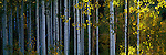 Dawn shadows cast the tree trunks of an aspen grove in blue--soon the early morning light will reach the grove in the Wasatch Mountains in the Uinta National Forest, Utah.