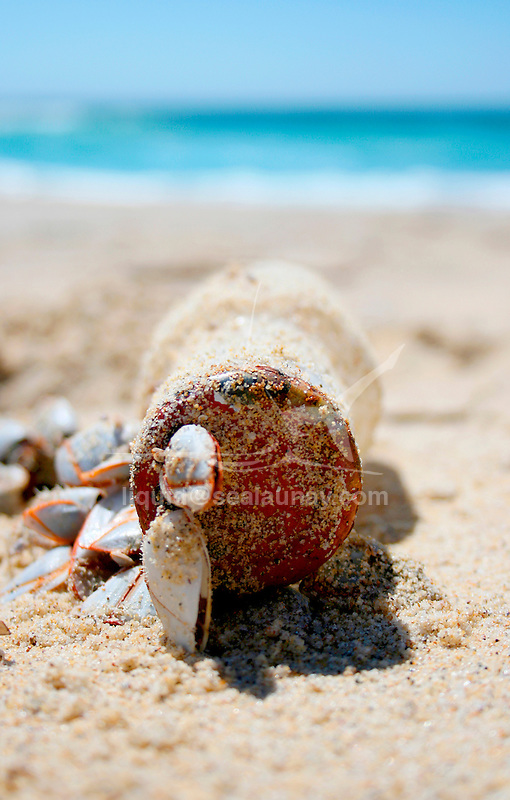 Shells on a glass bottle, Bawley Point on the South coast of New South Wales, Australia.