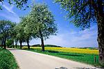 Austria, Lower Austria, Wachau, rural road, empty, yellow Canola field, trees