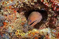 giant moray, Gymnothorax javanicus, with cleaner shrimp, Urocaridella sp., Maldives, Indian Ocean