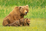 Pictured:  Smile:  The cubs with mum as if posing for a family portrait.<br /> <br /> A mother bear smiles at the camera as she poses with her cubs for a family portrait.  The mum appeared to have gathered her three young in for a tightly knit picture, before smiling for the lens.<br /> <br /> In reality, she was panting in the heat of a sunny afternoon and there were at least another ten bears around them so the mother was keeping them close for protection.  The young cubs also clambered over her and used their mother as a pillow as they rested on a grassy plain near the coast in Katmai National Park, Alaska, USA.  SEE OUR COPY FOR DETAILS.<br /> <br /> Please byline: Brad Josephs/Solent News<br /> <br /> © Brad Josephs/Solent News & Photo Agency<br /> UK +44 (0) 2380 458800