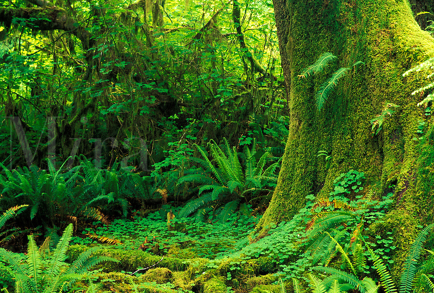 Rainforest greenery, Hall of Mosses Trail, Hoh River, Olympic National  Park, Washington