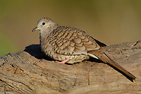 Adult male Inca Dove (Columbina inca). Hidalgo County, Texas. march.