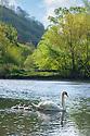 Mute Swan (Cygnus olor) with cygnets, Water-cum-Jolly Dale, Peak District National Park, Derbyhire, UK. May.