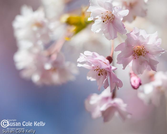 Cherry blossoms in Mt. Auburn Cemetery, Cambridge, Massachusetts, USA