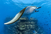 "giant oceanic manta ray, Mobula birostris, formerly Manta birostris, swimming at ""The Boiler"", a seamount, Socorro Island, Revillagigedo Islands, Mexico, Pacific Ocean"