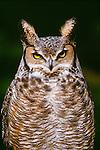 Great horned owl, Seattle, Washington