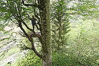 Camlihemsin: Mustafa Memoglu climbing a magnificent beech tree. ///Camlihemsin: Mustafa Memoglu en train d'escalader un hêtre majestueux.