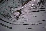 Harbor seal, Monterey Bay, California, USA