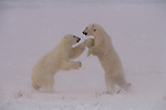 "Taking one step forward and two steps back, a pair of polar bears ""dance"" their way through a round of play-fighting, passing time as they wait for Hudson Bay to freeze in Wapusk National Park, Manitoba, Canada."
