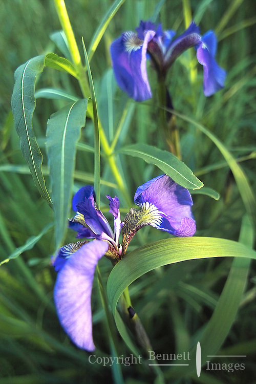 Iris along the Eagle River, in north Anchorage, Alaska.