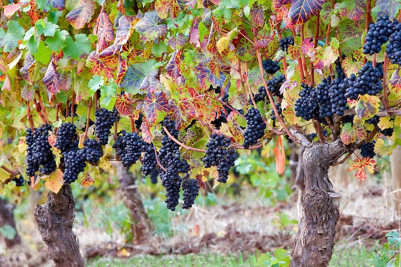Cabernet sauvingnon grapes with fall color. Erath Vineyards, Oregon