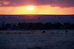Black wildebeest and impala graze on the African plain at sunset.