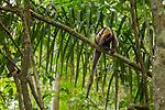 Northern Tamandua (Tamandua mexicana) in tree, Pipeline Road, Gamboa, Panama