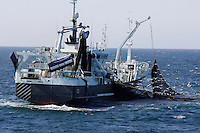 Purse Seine trawler hauling in net full of herring in Norwegian sea, North east Atlantic