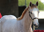 Hip 144 Tapit - Will Prevail filly, consigned by Taylor Made sold for $300,000 to Horse France..November 06, 2012.