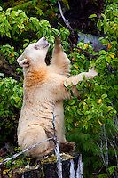 "Kermode ""Spirit"" Bear eating Crab Apples"