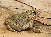Rice paddy frog, Fejervarya sp., from the Ermera district of Timor-Leste (East Timor)
