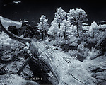 Fallen Ponderosa, Sunset Crater, Arizona (Infrared)  ©2016 James D. Peterson.  This is from a Northern Arizona trek on a sunny June day.