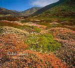 Buckwheat, Wildflowers, Garrapata State Park, Big Sur, Monterey County, California
