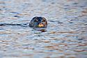 Common Seal {Phoca vitulina}, Isle of Mull, Scotland, June.