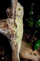 Tokay gecko, family : GEKKONIDAE, Gekko gecko, (c)