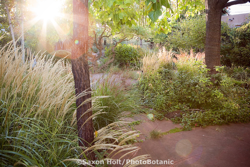 Sunrise in back yard meadow garden with grasses (Miscanthus 'Yaku Jima' and Calamagrostis 'Karl Foerster') under Catalpa trees, Albuquerque, New Mexico