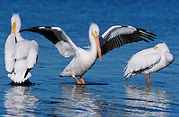 American White Pelican, Pelecanus erythrorhynchos, adult wings up, Rockport, Texas, USA, December 2003