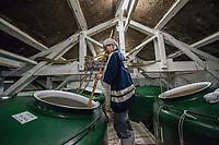 Japan, Okayama Prefecture, Katsuyama. Maiko, the master brewer stirring the sake vats at her Tsuji Honten Sake factory. Family run for seven generations, brother-sister team of President and Master Brewer. MR