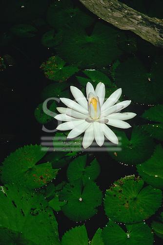 Amazon, Brazil. White flower - nymphaea.